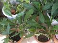 plumeria cuttings