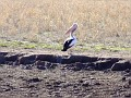 Pelican near Forbes
