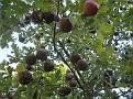 Andricus coriarius insect Quercus (6)