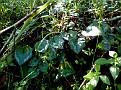 Cyclamen cyprium (12)