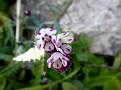 Anchusa variegata (4)
