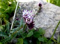 Anchusa variegata (8)