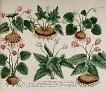 Cyclamen rotundifolium