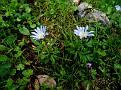 Anemone blanda (1)