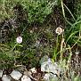 Anacamptis pyramidalis (1)Anacamptis pyramidalis subsp  urvilleana