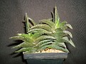 Haworthia nigra Japanese form