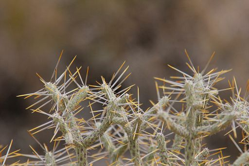 pencil cholla close up