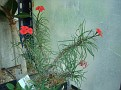 Euphorbia gottlebei
