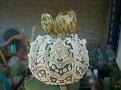 Astrophytum asterias 'Super Kabuto'