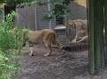 Lion  de leeuw wandelt rustig weg