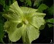 DSCN1479 Hibiscus eller Malva 05 08 12