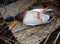 Banded Mallard Drake Shot #1 122910