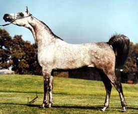 GAISHEA #343238 (Bey Shah x Gai Dream, by Gay-Rouge) 1985 grey mare bred by Gainey Arabians