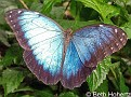 BlueMorphoButterfly001