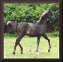 HA FINAL GLORY #562361 (SFA WIndjammer x WN Finale, by Naborr) 1998 grey stallion