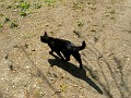 unknown Saxonian black cat