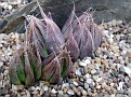 Haworthia bolusii v. blackbeardiana Bonkholo Nek, N of Queenstown
