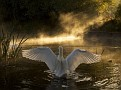 Swan on the River Avonnatgeo bestwalls 12